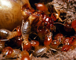 Termites are no match for Triumphant Pest Control