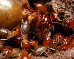 Termites are no match for Triumphant Pest Control